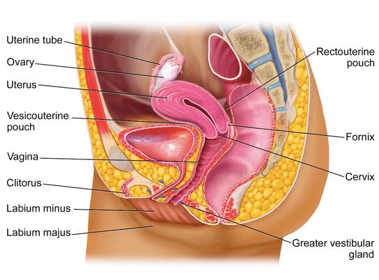 reproductivesystem